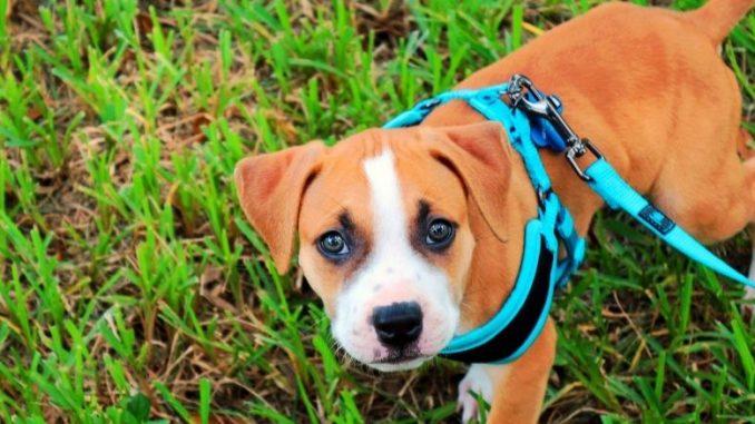 Comment placer correctement le harnais sur votre chien et lequel choisir