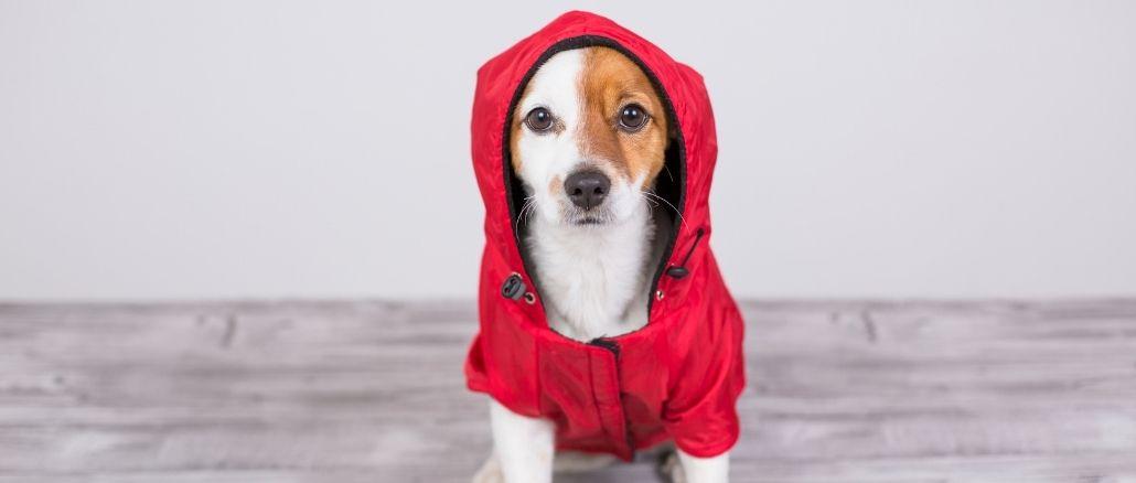 Chien Jack Russel Avec Un Petit Manteau Rouge À Capuche